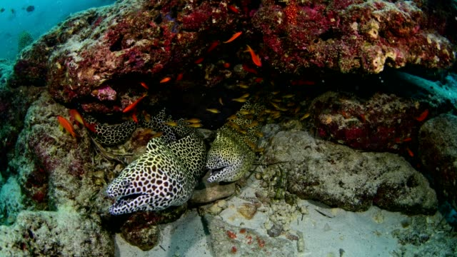 moray eel in the coral reef, maldives - sharp stock videos and b-roll footage