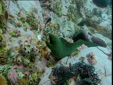 Moray eel on coral, Malpelo Island, Columbia
