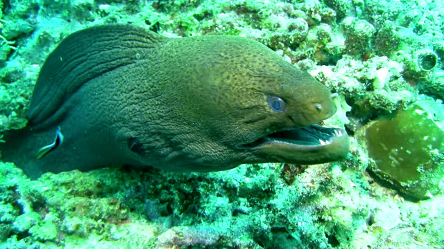 cu moray eel opening its mouth - moray eel stock videos and b-roll footage