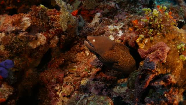 moray eel, reef, hiding in rock, undersea - moray eel stock videos and b-roll footage