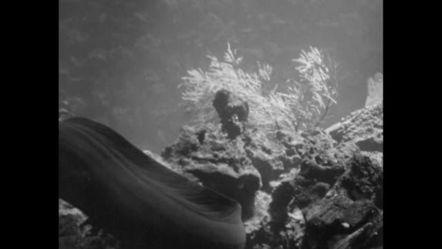 vídeos de stock, filmes e b-roll de moray eel sits by coral other eels swim into picture chase fish large trigger fish chases smaller fish / porcupine fish swims / note exact year not... - moreia