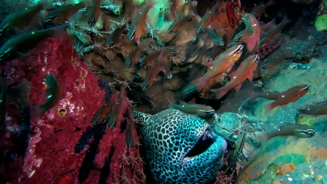 Moray Eel, small fishes and shrimps coexisting peacefully