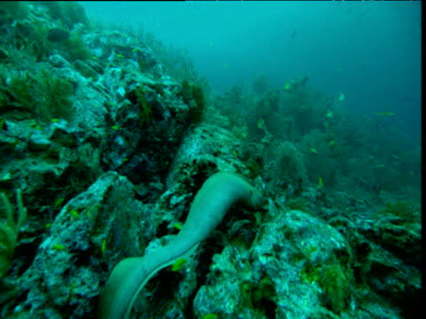 moray eel swims over coral reef away from camera, panama - moray eel stock videos and b-roll footage