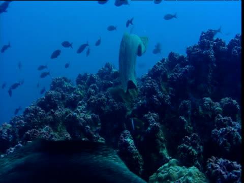 Moray eel swims over reef, Galapagos