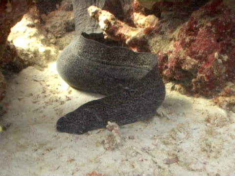 Moray eel WS tail and body
