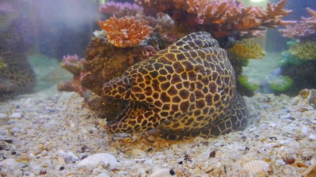 stockvideo's en b-roll-footage met moray eel tiger. - rugvin
