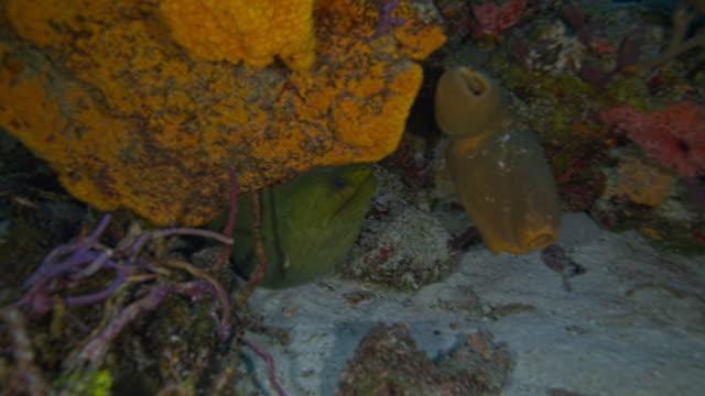 vidéos et rushes de moray eel - vincent pommeyrol