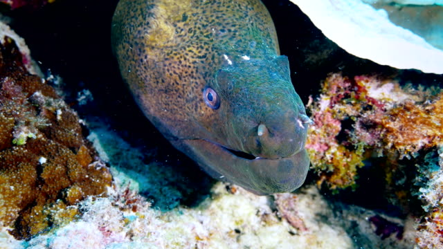 moray eel - saltwater fish stock videos & royalty-free footage