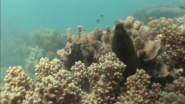 vídeos de stock e filmes b-roll de a moray eel waves its head as coral fish swim around. - moreia enguia de água salgada