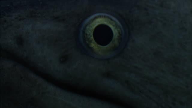 vídeos de stock e filmes b-roll de a moray eel's eye stares intently as its mouth slowly opens and closes. - moreia enguia de água salgada