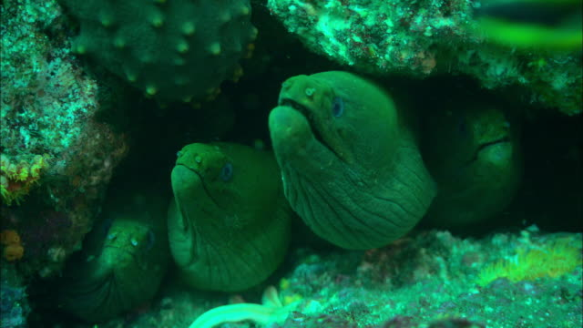 moray eels hide in the crevice of a coral reef. available in hd. - crevice stock videos & royalty-free footage