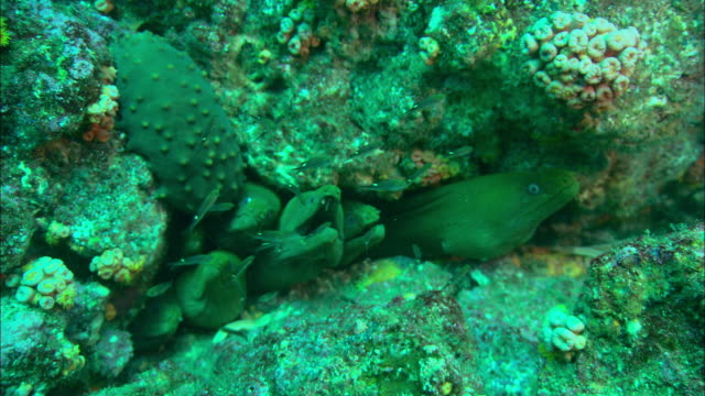 vídeos de stock, filmes e b-roll de moray eels hide in the crevice of a coral reef. available in hd. - moreia