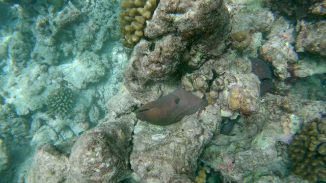 moray with rocks underwater - moray eel stock videos & royalty-free footage