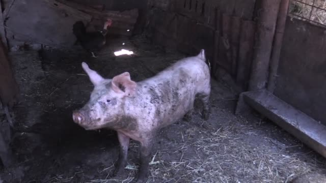 stockvideo's en b-roll-footage met more than 110,000 pigs are culled in romania due to an outbreak of african swine fever according to a report from the interior ministry - varken