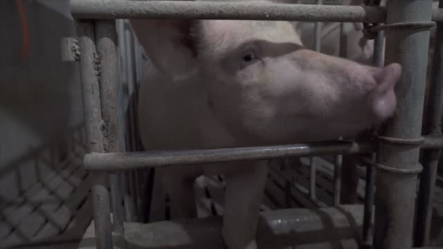 stockvideo's en b-roll-footage met more than 14,500 pigs have been culled in an eastern chinese city officials announced as the world's largest pork producer scrambles to contain an... - varken