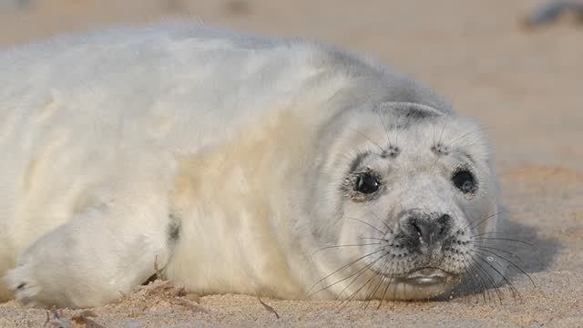 more than 2,000 grey seal births have been recorded at horsey gap in norfolk during its annual pupping season. the births come as police have been... - grey seal stock videos & royalty-free footage