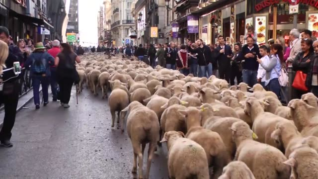 More than one thousand sheep walk at city center as a tradition coming from medieval age during the annual Trashumancia Festival in Madrid Spain on...