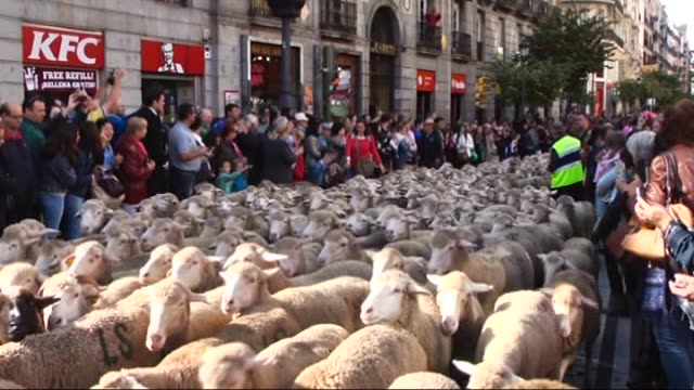 vídeos y material grabado en eventos de stock de more than two thousand sheep walk as a tradition coming from medieval age during trashumancia madrid 2015 at city center in madrid spain on october... - oveja mamífero ungulado