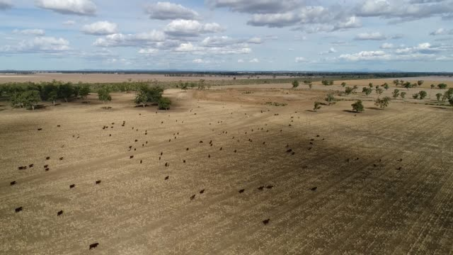 moree plains agri cattle - eternity stock videos & royalty-free footage