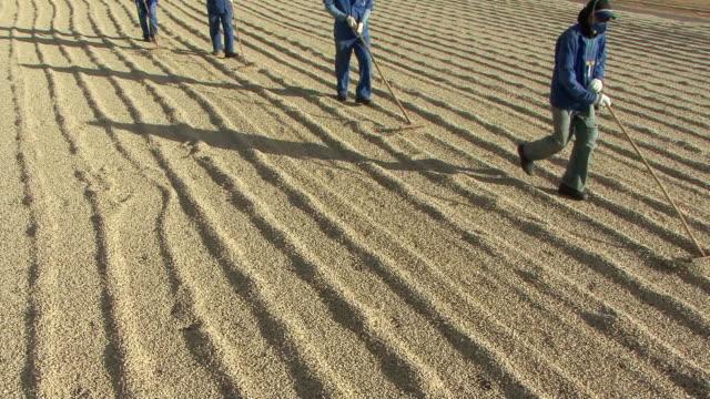 vídeos de stock e filmes b-roll de ms tu morkers hackling coffee grains at harvest time / goias, brazil - cereais