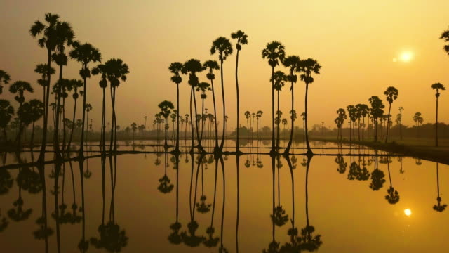 Morning at sunrise light with sugar palm trees, Thailand.
