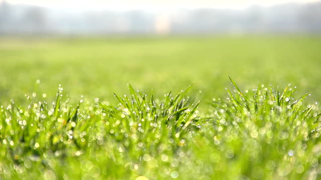 HD SUPER SLOW MOTION: Morning Dew On Green Grass