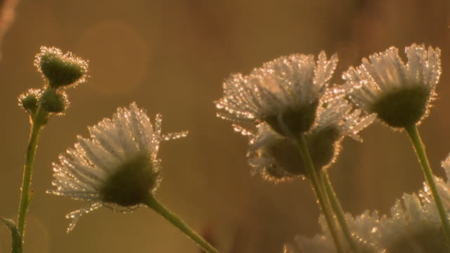 cu morning dew on wildflowers, tweed, ontario, canada - morning dew stock videos & royalty-free footage