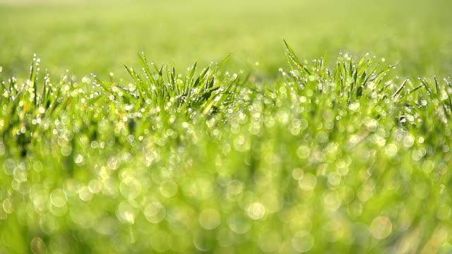 hd 超スローモーション: 朝に若い小麦 - ゴルフ場点の映像素材/bロール