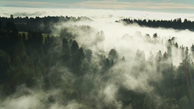 vídeos de stock, filmes e b-roll de névoa da manhã pairando acima dos redwoods-tiro do zangão - sequoia sempervirens