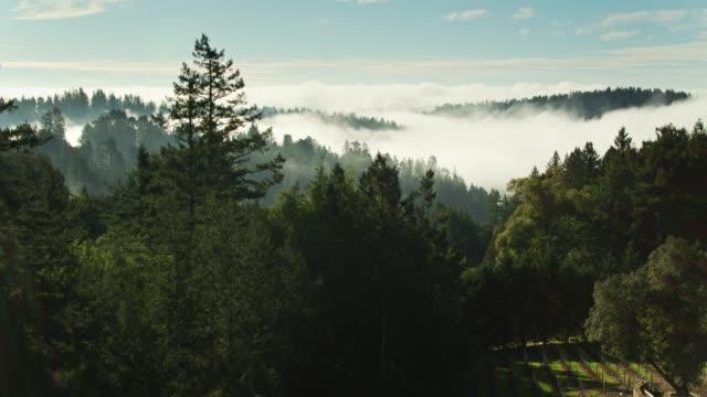 vídeos de stock, filmes e b-roll de névoa da manhã na floresta e no vinhedo do condado de sonoma - sequoia sempervirens