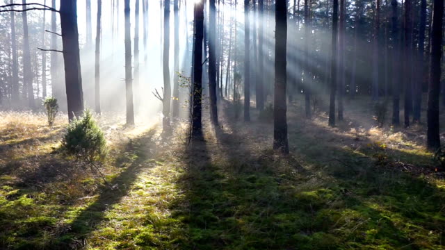 morning forest - pine tree stock videos & royalty-free footage