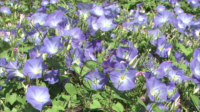 morning glories bloom in a meadow. - morning glory stock videos & royalty-free footage
