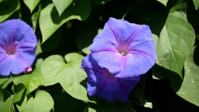 morning glory beautiful flower in thailand - morning glory stock videos & royalty-free footage