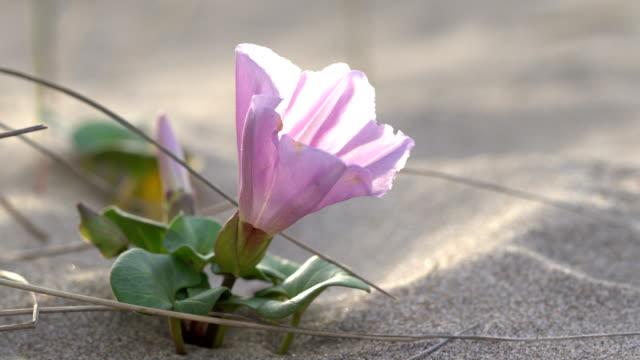 morning glory - calystegia soldanella - morning glory stock videos & royalty-free footage