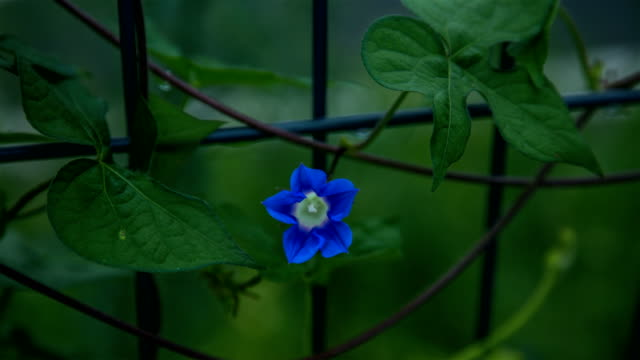 morning glory flower blooming on iron fence - morning glory stock videos & royalty-free footage