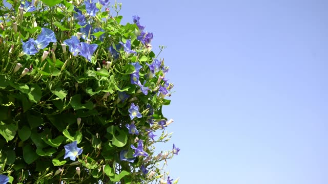 morning glory flower plants agent blue sky - morning glory stock videos & royalty-free footage