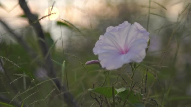 morning glory flower ,purity in rural scene - morning glory stock videos & royalty-free footage