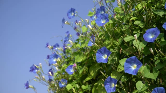 morning glory flowering plants - morning glory stock videos & royalty-free footage