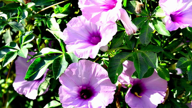morning glory flowers - morning glory stock videos & royalty-free footage