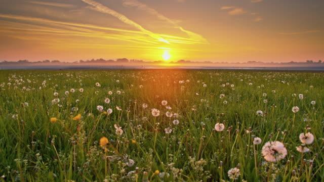 DS Morning mist over dandelions