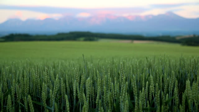 morning mountain and wheat field - plusphoto stock videos & royalty-free footage