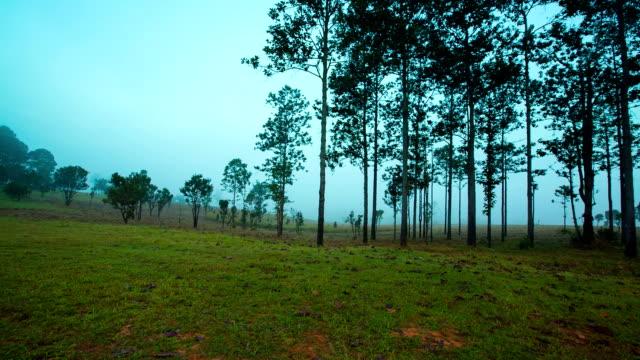 vídeos y material grabado en eventos de stock de mañana en el pino con niebla - pinar