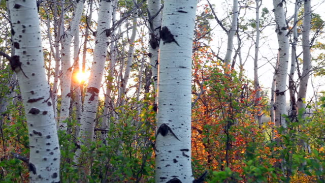 ms pan morning sun rising through quaking aspen trees (populus tremuloides) in glacier national park / montana/ usa - aspen tree stock videos & royalty-free footage