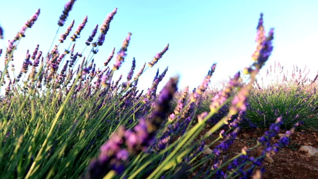 Morning sunrise - lavender fields near Valensole