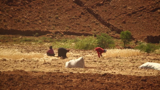 moroccan farmers hand harvesting wheat - wiese stock videos & royalty-free footage