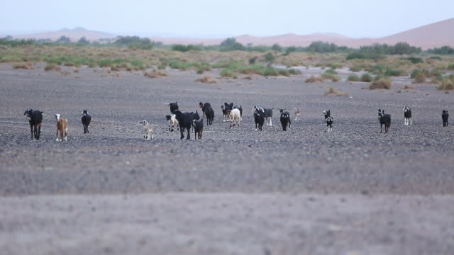 moroccan goat herd walking to cam - wiese stock videos & royalty-free footage