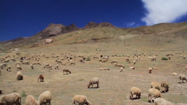 moroccan sheep grazing wide pan - wiese stock videos & royalty-free footage