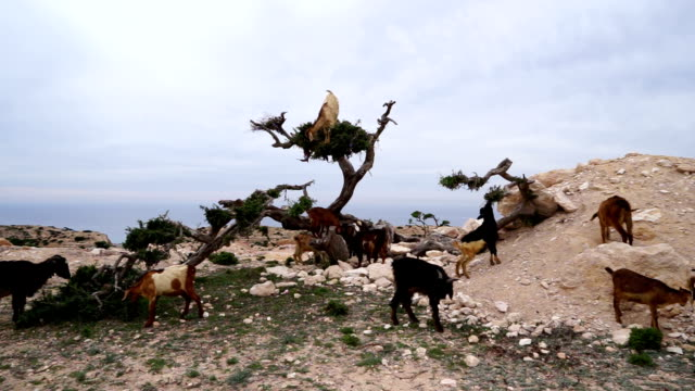 morocco goats in an argan tree eating the argan nuts - goat stock videos and b-roll footage