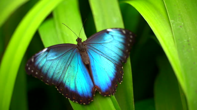 morphinae butterfly spreading wings on the leaf - farfalla video stock e b–roll