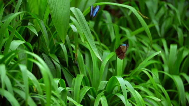 stockvideo's en b-roll-footage met morphinae butterfly's flying in the forest - kleine groep dieren